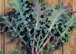 Kale Russian Red