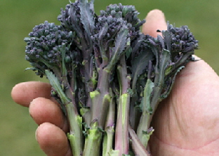 Sprouting Broccoli